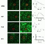 Neurotransmitter-induced changes in intracellular calcium levels showed normal neuronal properties.