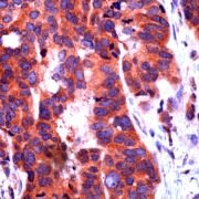 NOTCH1 Antibody (PA5-32522)