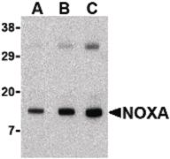 NOXA Antibody (PA5-19977)