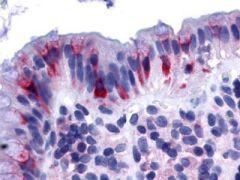 GPR120 Antibody (OPA1-15201)