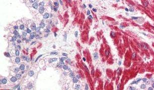 OR51E1 Antibody (PA5-34053)
