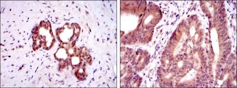 OTX2 Antibody (MA5-15854)