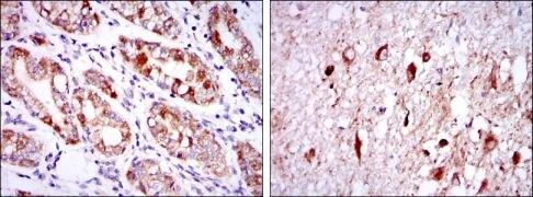 OTX2 Antibody (MA5-15855)