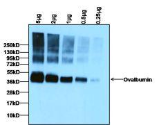 Ovalbumin Antibody (PA1-196)