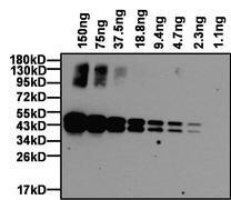 Ovalbumin Antibody (PA1-196-HRP)
