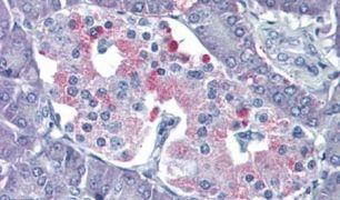 P2Y4 Antibody (PA5-34090)