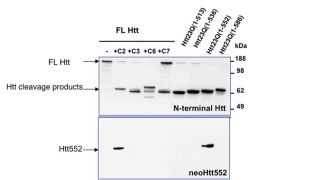 HTT Antibody (PA1-003)