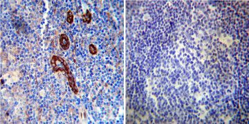 FKBP12 Antibody (PA1-026A)