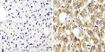 Cyclophilin B Antibody (PA1-027A)