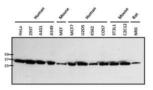 NPM1 Antibody (PA1-029)