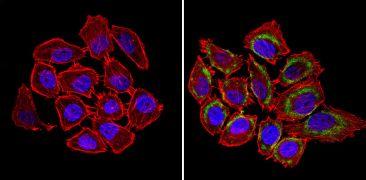 nNOS Antibody (PA1-033)