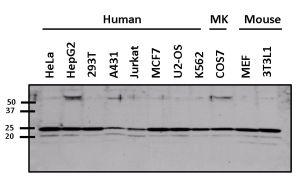 ARF6 Antibody (PA1-093)