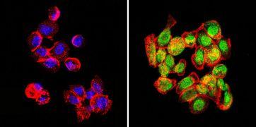 GATA2 Antibody (PA1-100X)