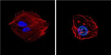 GATA4 Antibody (PA1-102)