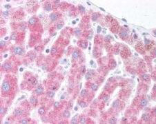DERL1 Antibody (PA1-16598)