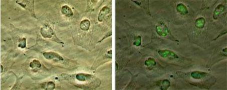 CDKN2A Antibody (PA1-16639)