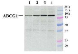ABCG1 Antibody (PA1-16804)