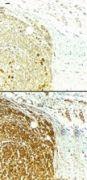 Survivin Antibody (PA1-16836)