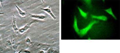 Beclin 1 Antibody (PA1-16857)