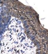 KIN Antibody (PA1-24441)