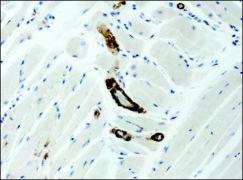 ASAP1 Antibody (PA1-25512)