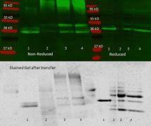 Aldolase Antibody (PA1-27236)