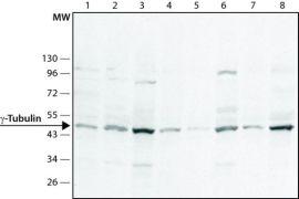 gamma Tubulin Antibody (PA1-28042)