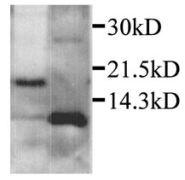 CXCL2 Antibody (PA1-28895)