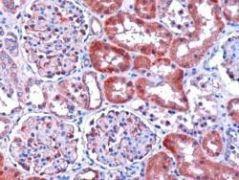 DCXR Antibody (PA1-31039)