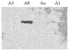 PDE4A Antibody (PA1-31130)