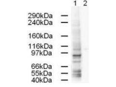 gamma Adaptin Antibody (PA1-31775)