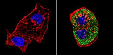 SREBP1 Antibody (PA1-337)