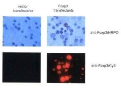 FOXP3 Antibody (PA1-46126)