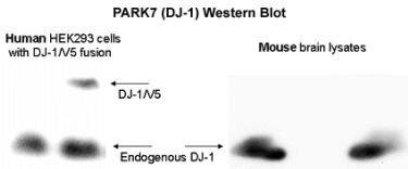DJ-1 Antibody (PA1-46262)