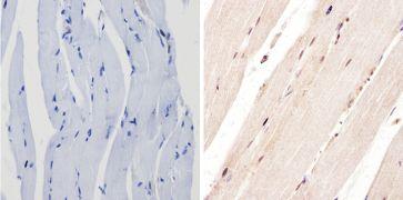 PER1 Antibody (PA1-524)