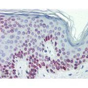 Lamin C Antibody (PA1-5827)