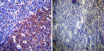 LAMP-2 / CD107b Antibody (PA1-655)