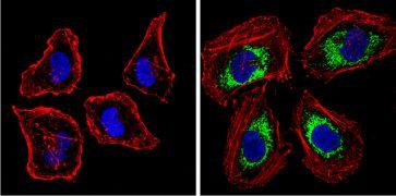 BACE1 Antibody (PA1-757)