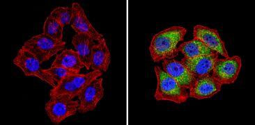 SNX1 Antibody (PA1-836)