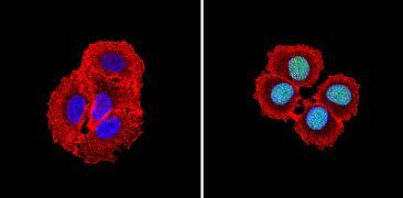 CBP Antibody (PA1-847)
