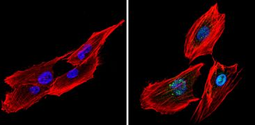 CREB Antibody (PA1-850)