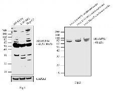 ADAMTS4 Antibody (PA1-1749A)