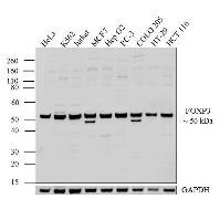 FOXP3 Antibody (PA1-806)