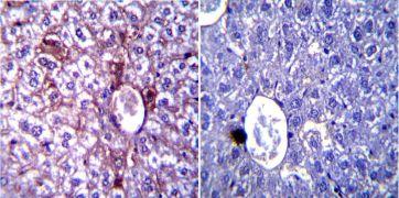 iNOS Antibody (PA3-030A)