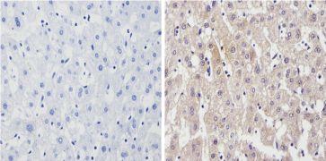 Cyp4a10 Antibody (PA3-033)