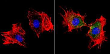 mDIC Antibody (PA3-840)