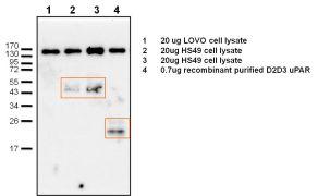 uPAR Antibody (PA3-001)