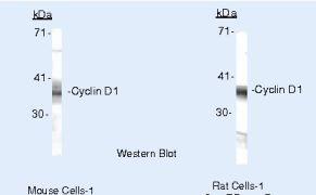 Cyclin D1 Antibody (PA5-16232)