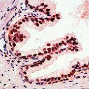 p27 Kip1 Antibody (PA5-16717)