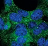 ATG12 Antibody (PA5-17217)